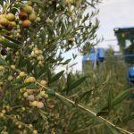 Azeite alentejano vendido ainda na árvore
