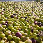 INE aponta para redução da área de cereais de inverno e aumento da azeitona para azeite