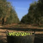 Produção de azeite em Portugal fixa marco histórico