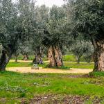 A oliveira milenar que viu nascer Portugal enquanto nação e conheceu as invasões bárbaras