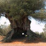 Oliveira mais antiga de Portugal honra modernos olivicultores