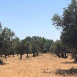 Cerca de 5% do olival espanhol encontra-se no processo de abandono
