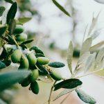 Os problemas dos Olivais e do azeite em tempos de crise