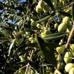 Evidências antropológicas e biológicas da origem das oliveiras cultivadas e da produção de azeite